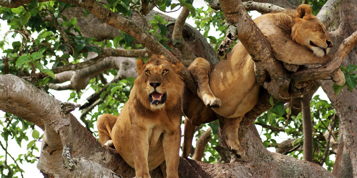 3 Days' Safari to Queen Elizabeth National Park via Ishasha Sector